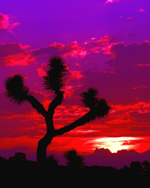 royal-tree-joshua-sunset