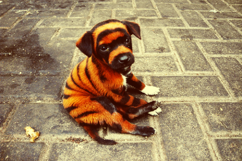 tigerpuppy